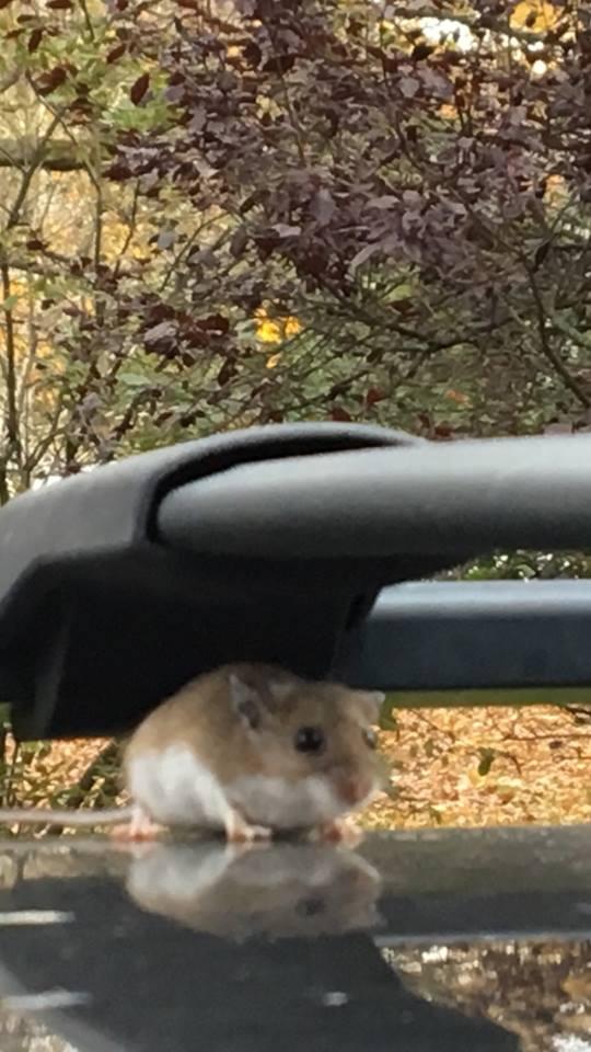 Susanna Hill Stowaway rodent